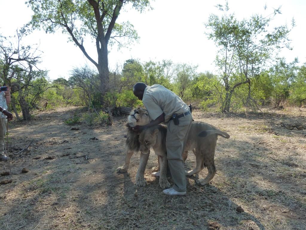 lion love 3